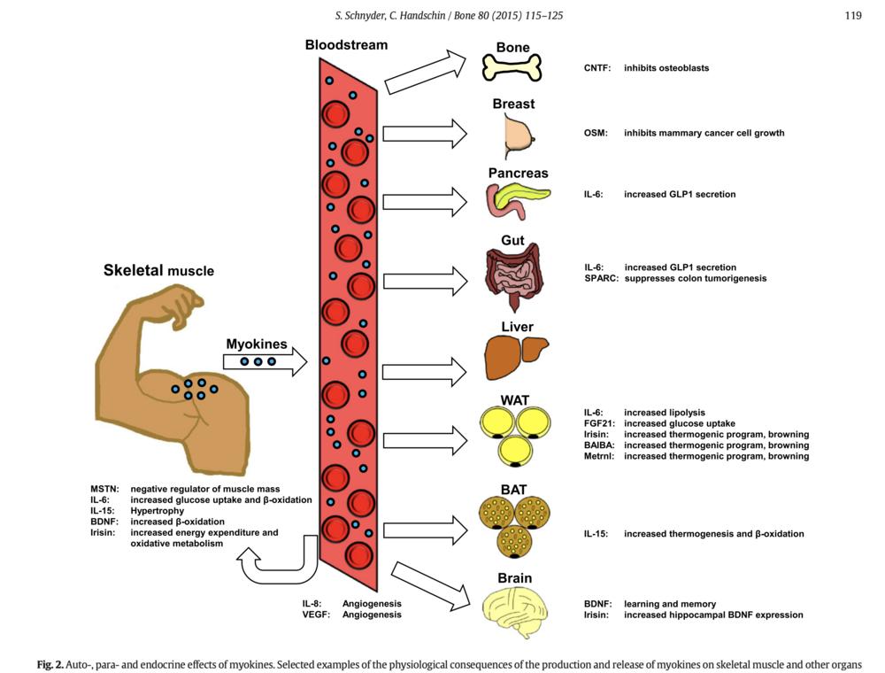 Myokines hebben invloed op veel processen -